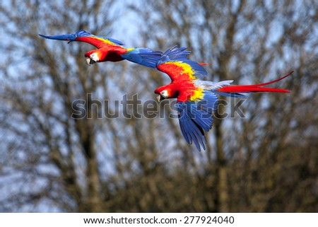 Two Scarlet Macaws flying close to each other - stock photo