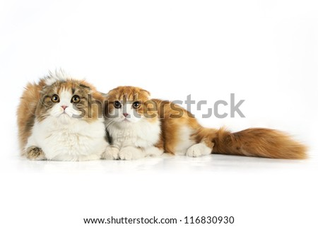 Two Scottish fold cat - stock photo