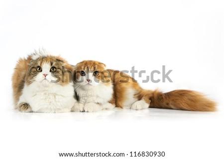 Two Scottish fold cat - stock photo