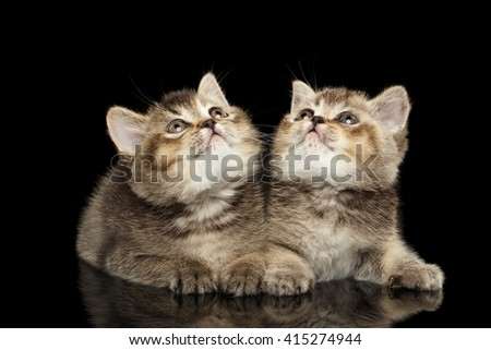 Two Scottish Straight Kittens Lying and Curious Looking up Isolated on Black Background - stock photo