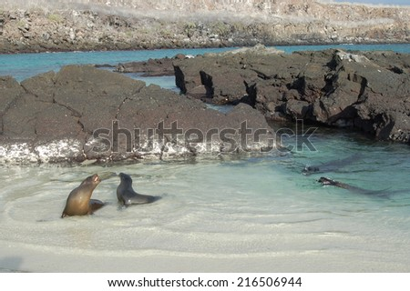 two sea lions playing - stock photo