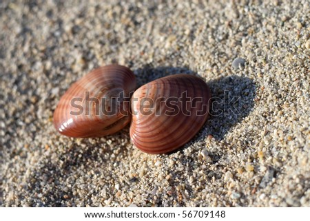 two sea shells on the sand