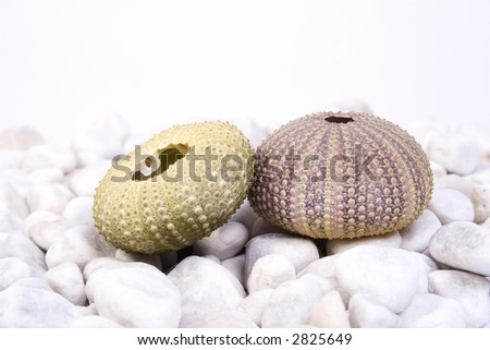 Two sea urchin (green and pink) on the white stones and white background