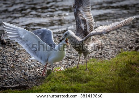 Two seagulls fight over the salmon scraps left by bears along the shore of Brooks River, Katmai National Park