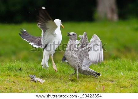 Two seagulls fighting over a fish on green ground - stock photo