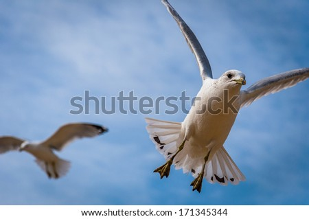 Two seagulls in mid-air, at Chesapeake Beach, Maryland