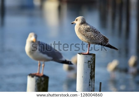 Two seagulls perched on poles overlooking a calm sea with reflections with shallow dof and focus to the right hand bird - stock photo