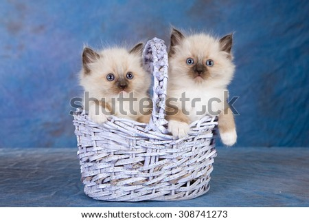 Two Seal Mitted Ragdoll kittens sitting inside lilac blue basket on blue background