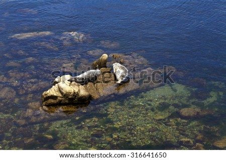 Two Seals Basking On Rocks Monterey Bay California - stock photo