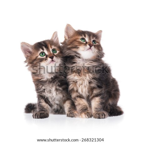 Two serious cute siberian kittens isolated on white background - stock photo