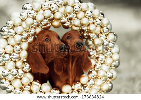 Two Setters puppies, xmas, horizontal portrait, outdoors - stock photo