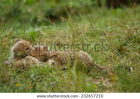 Two seven weeks old Cheetah cubs lying and hugging each other. Gepard Cubs. Cheetah cubs huddled up together one sleeping while the other stays alert. ( Acinonyx jubatus ) - stock photo