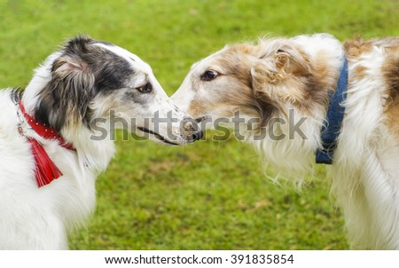 two shaggy white and brown dogs Russian greyhound on a green grass