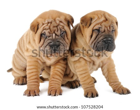 Two shar-pei puppies in studio on white background - stock photo