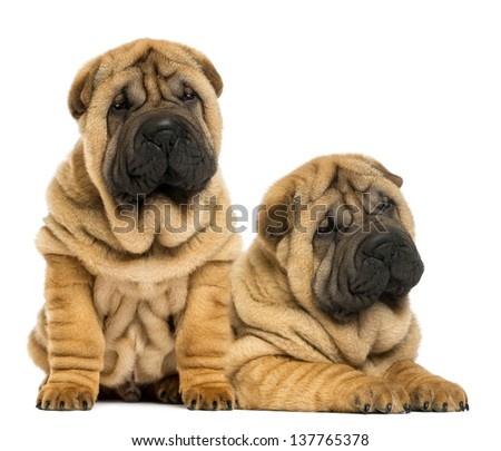 Two Shar pei puppies sitting and lying next to each other, isolated on white - stock photo