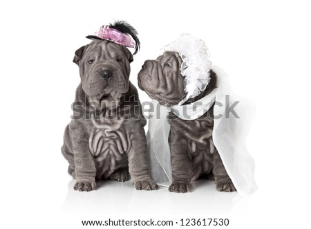 Two sharpei puppy dog dressed in wedding attire, on white background - stock photo