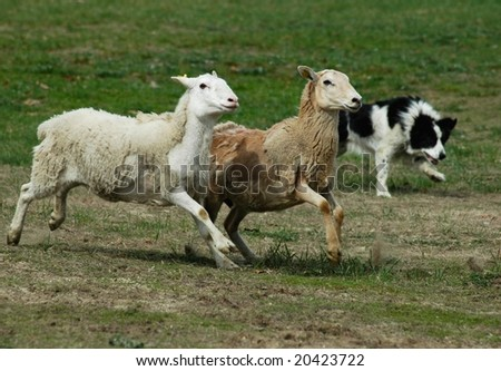Two Sheep and a Border Collie - stock photo
