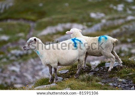 Two sheep at alpine grazing in the swiss mountains
