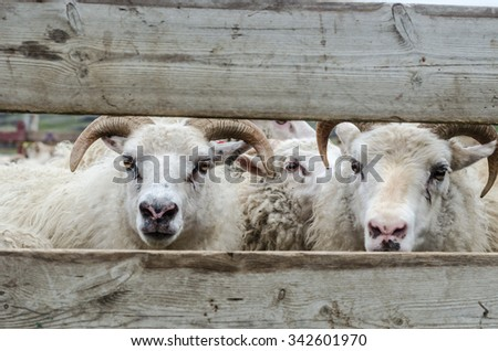 Two sheep behind the fence close up - stock photo