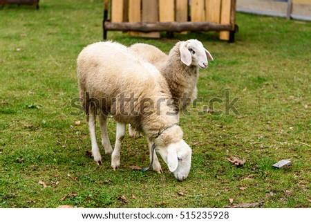 Two Sheep in a small city petting ZOO. Natural city farming and agriculture.