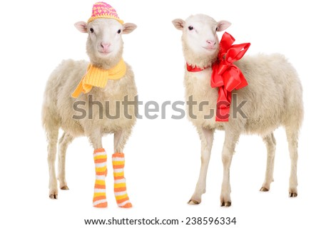 two Sheep in Christmas clothes. animal isolated on white background  - stock photo