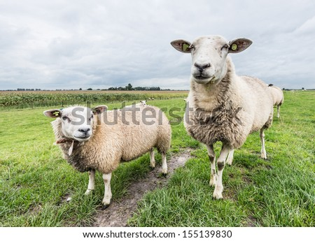 Two sheep in front of the camera against a very cloudy sky in the autumn season. - stock photo