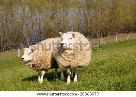 Two sheep in the grass during spring time
