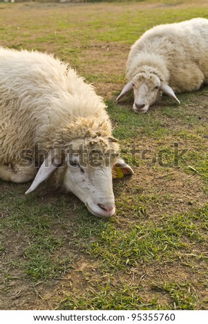 Two sheep in the Livestock farm, eat and were filled sleep. Lazily.