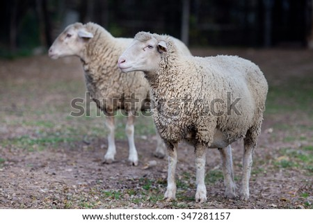 Two sheep standing on farmland and looking at side