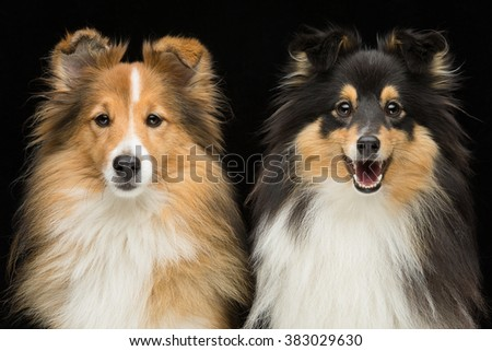 Two sheltie dogs - stock photo