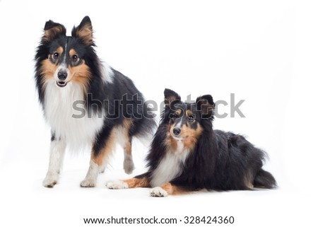 two Shetland Sheepdogs, isolated on white studio background