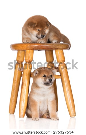 two shiba inu puppies with a chair on white - stock photo