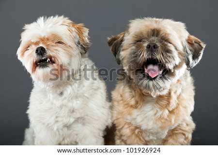 Two shih tzu dogs isolated on grey background. Studio shot.