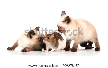 Two siamese kittens playing with a rat - stock photo