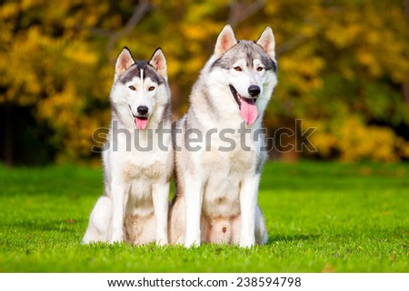 Two Siberian Huskies in autumn park