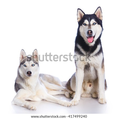 Two Siberian huskies in studio on a white background