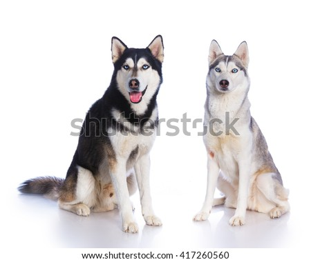 Two Siberian huskies sitting on a white background - stock photo