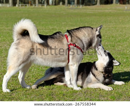 Two Siberian Husky are sniffing each other when meeting. Black Siberian Husky is lying on his stomach. - stock photo