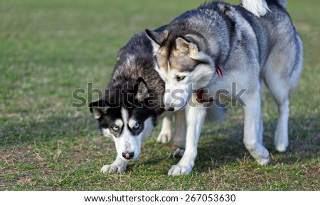 Two Siberian Husky is strolling next to each other. Black Siberian Husky is pressed to the ground while walking. Husky, which is located on the right, dominates over black dog. - stock photo