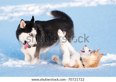 Two siberian husky playing on snow - stock photo