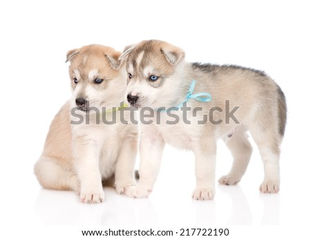 Two Siberian Husky puppies looking away. isolated on white background