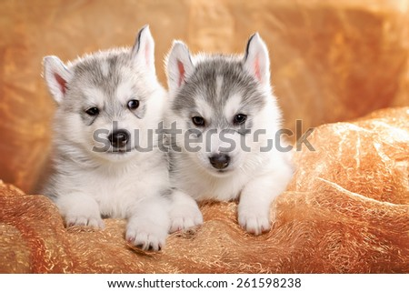 Two siberian husky puppies on a gold background - stock photo