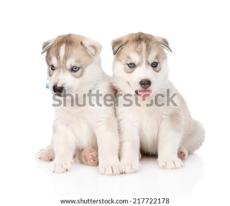 Two Siberian Husky puppies sitting in front. isolated on white background - stock photo