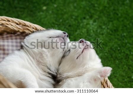 Two siberian husky puppies sleeping in a wicker bed on green grass