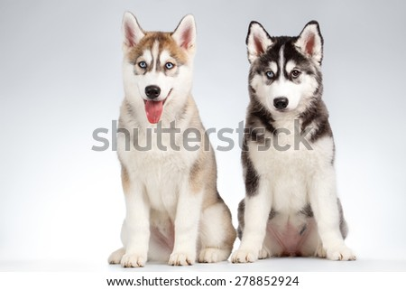 Two Siberian Husky Puppy isolated on White background - stock photo