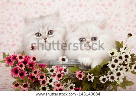 Two Silver Chinchilla Persian kittens sitting in blue basket with pink and white small flowers on floral background - stock photo
