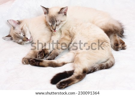 Two six months old Siamese kittens sleeping together on a bed