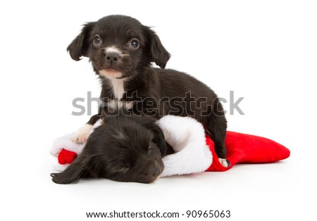 Two six week old black puppies. One inside a Christmas stocking sleeping and the other laying on top of it.