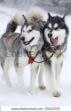 two sled dog huskys in harness during race on snow in winter - stock photo