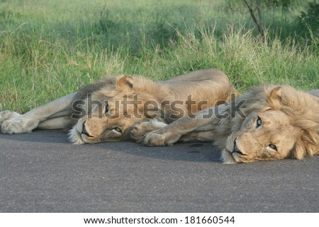 Two sleepy african lions laying down on the road identically - stock photo